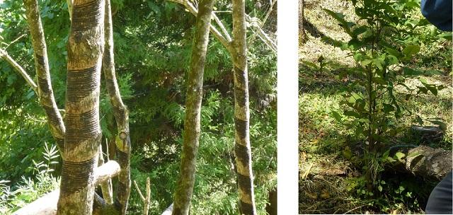 掻き終えると伐採される漆の木     伐採された切り株からひこばえが生えてくる